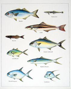 Bluefish, Sharksucker, Cobia, etc. Vintage 1984 Fish Book Plate. $10.00, via Etsy.