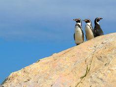Isla Damas - Humboldt Penguin