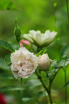 Rosa rugosa 'White Grootendorst' Rose Varieties, Heirloom Roses, Garden Inspiration, Garden Ideas, Old Rose, Cabbage Roses, Antique Roses, Plant Design, Beautiful Roses