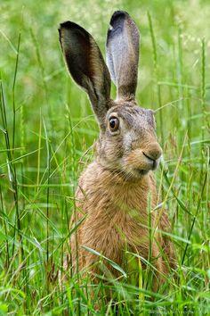 Bunnies & Hares: Happy Easter by Christian Roeschert Wild Rabbit, Jack Rabbit, Rabbit Art, Beautiful Creatures, Animals Beautiful, Baby Animals, Cute Animals, British Wildlife, Woodland Creatures
