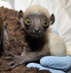 Baby Coquerel's sifaka lemur, Beatrice
