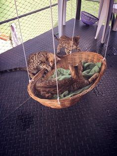 Cats Toys Ideas - Hang a basket lined with a blanket for a classic DIY cat bed! Just be sure the hooks can handle rambunctious kittens. - Ideal toys for small cats Lit Chat Diy, Diy Cat Bed, Diy Cat Hammock, Hammock Swing, Diy Dog, Diy Tire Swing, Hammocks, Cat Run, Ideal Toys