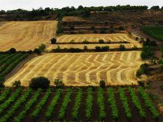 Paisatge verduní de juny: ordi segat, vinya i ametllers