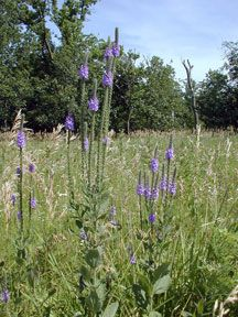 Kansas Wildflowers and Grasses - Woolly verbena