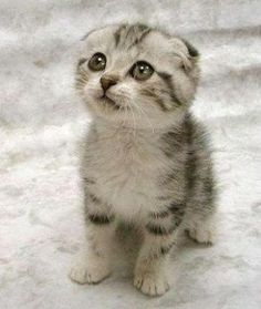 - I didn't think i was a cat person, fairly certain a Scottish fold could change that. In Love