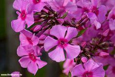 Flammenblume, Phlox paniculata http://www.florilegium.de/blog/pflanzen/blumen-im-garten/flammenblume-oder-hoher-stauden-phlox-phlox-paniculata.html
