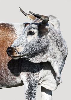 Gallery - Category: Nguni Collection | Ed Schroeder Photography