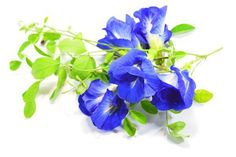 Common name Butterfly pea, blue pea. 20 [pcs] fresh Seeds of. Only seeds. Very nice and healthy seeds. Home Garden Plants, Home And Garden, Butterfly Pea, Healthy Seeds, Planting Seeds, Tropical Plants, Herbalism, How To Memorize Things, Bulbs