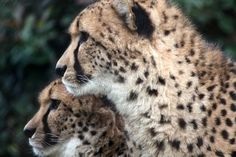 Cheetah Siblings Photo by Sheilah Swanson — National Geographic Your Shot