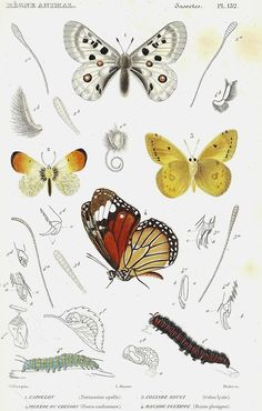 """Illustration of Lepidoptera from """"Le règne animal distribué d'après son organisation' ( 1828) by Georges Cuvier.  ..."""