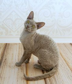 Lilac Smoke Devon Rex Kitten, 8 months old male Cute Cats, Funny Cats, Curly Cat, Devon Rex Cats, Selkirk Rex, Cat Species, Kobold, Cornish Rex, Kitten Love