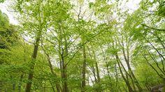 Green... Kamitakaigun,  Takayama-mura, Nagano Prefecture, Japan.