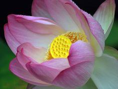 Lotus flower petals - Laureenr Lotus Flower Images, Flower Petals, Flowers, Rose Gift, Orchids, Bloom, Plants, Gifts, Presents