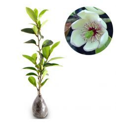 Magnolia Figo White Rp 70,000
