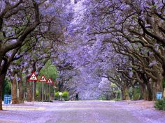 Jacaranda lined Marais street. Brooklyn, Pretoria, South Africa. Questa pianta in primavera colora tanti viali di Pretoria. E' uno spettacolo di colori e di tepori primaverili.