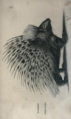 Porcupine. General zoology, or Systematic natural history. v. 2, pt. 1. London,Printed for G. Kearsley,1800-1826. Biodiversitylibrary. Biodivlibrary. BHL. Biodiversity Heritage Library