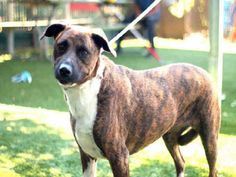 DUTCHESS - located at L.A. COUNTY ANIMAL CARE CONTROL: CARSON SHELTER in Gardena, CA - Adult Female German Shepherd mix