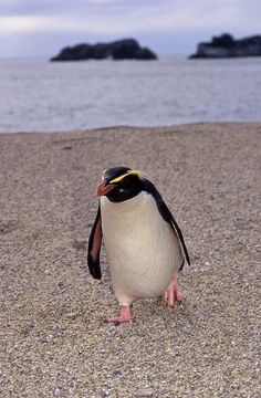 photo of Fiordland crested penguin coming ashore