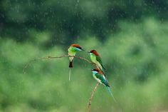 Blue-throated beeeaters The week in wildlife – in pictures via Guardian