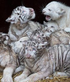 White lions and tigers