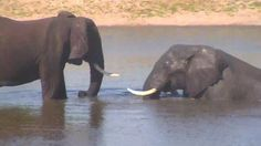 | Africam  Elephants at Idube. - Nov 24 2015 - 3:50pm