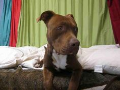 **RIP** ~ 1 YEARS OLD MALE BROWN & WHITE PIT BULL TERRIER!! REX - ID#A1378834 - HARBOR SHELTER - SAN PEDRO, CA (L.A. AREA)
