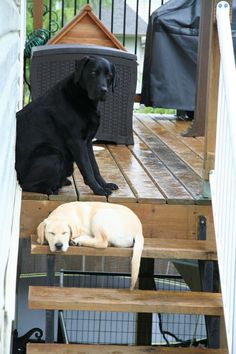 Jagr & Otto: Two Labradors Defining Brotherhood – Its a Lab Thing | Dog | Puppy | Labrador Retriever | Pet Photography | Dogs