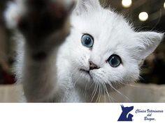 Los cuidados de tu gato. CLÍNICA VETERINARIA DEL BOSQUE. Cuando un gatito entra a formar parte de nuestra vida, es importante prestar atención a muchos detalles importantes a la hora de su desarrollo y de los más importantes, es el espacio, el lugar para orinar y defecar y su alimentación. En Clínica Veterinaria del Bosque contamos con médicos veterinarios expertos para orientarte respecto a todas las necesidades y cuidados de los gatos. www.veterinariadelbosque.com #cuidadodemascotas