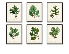 Oak Leaf Botanical Print Set No. 3, Botanical Prints, Antique Botanical, Vintage Botanical, Prints, Oak Leaf, Giclee, Illustration, Print