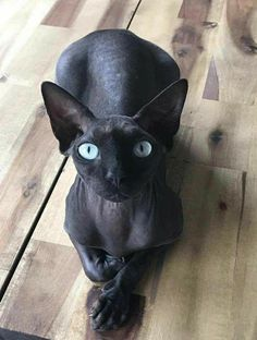 Royal Blue Sphinx / Cat Clothes / Pet Shop Store USA / Gift idea for sphinx owners / Premium Items Kittens sphynx cat Pretty Cats, Beautiful Cats, Animals Beautiful, Pretty Kitty, Hello Beautiful, I Love Cats, Crazy Cats, Cool Cats, Chat Sphynx
