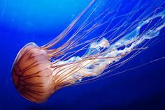 Image result for coral reef jellyfish
