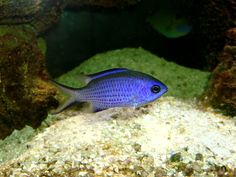 Blue Chromis ( Damselfish ) 13cm, a perfect little jewel.