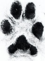 real paw print...Really thinking about getting this with my puppys print!
