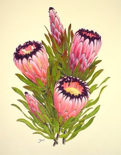 Protea nerufolia by Zoë Carter From the exhibition: The Grover E. and Sally M. Murray Protea Paintings Collection The floral watercolor paintings of New Zealand artist, Zoë Carter. Protea Art, Protea Flower, Art Floral, Floral Watercolor, Watercolor Paintings, Watercolour, Botanical Flowers, Botanical Prints, South African Flowers