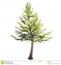 lebanon-cedar-tree-isolated-white-34045057.jpg (1300×1390)
