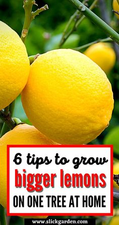 6 Tips To Grow Bigger lemons On One Tree At Home. grow lemon tree at home.