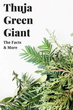 Thuja Green Giants are fast growing evergreens that are perfect for living privacy fences. Learn all about them and how to take care of them here! Fast Growing Evergreens, Fast Growing Trees, Living Privacy Fences, Privacy Hedge, Thuja Green Giant, Deer Repellant, No Rain, Outdoor Plants, Potted Plants