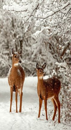 Deer in Winter Wonderland