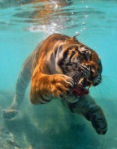 #tiger #animals #underwater