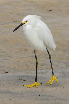 Snowy Egret Pretty Birds, Beautiful Birds, Animals Beautiful, Rare Birds, Exotic Birds, Animal Original, Animals And Pets, Cute Animals, Funny Birds