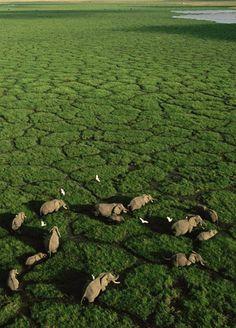 Elephants grazing in Lake Amboseli, Amboseli National Park, Kenya