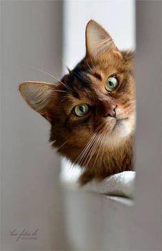 Foto Image Chat, Pretty Cats, Beautiful Cats, Animals Beautiful, I Love Cats, Crazy Cats, Cat Lovers, Dog Cat, Somali