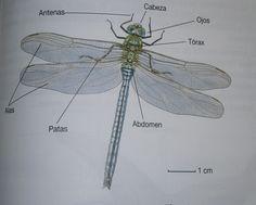 4)Los Insectos son un grupo de invertebrados, principalmente terrestre cuyo tamaño oscila entre los 25 mm y los 30 cm. Presentan el cuerpo dividido en tres regiones: cabeza, tórax y abdomen. #insectos