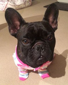 """""""Human....I am a DOG, we've discussed this.."""", French Bulldog Puppy annoyed with his jumpsuit."""