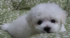 Bichon Frise Puppy For Sale In Eugene Or Adn 58034 On Puppyfinder Com Gender Male Age 10 Weeks Old Bichon Frise Puppy Bichon Frise Puppies For Sale