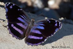Blackened Bluewing - Myscelia cyananthe An amazing North American butterfly, Myscelia cyananthe (Nymphalidae) is a species distinctive by having the upperside black with iridescent blue bands, and the. Butterfly Spirit Animal, Butterfly Kisses, Butterfly Flowers, Flowers Nature, Flying Flowers, Butterflies Flying, Beautiful Bugs, Beautiful Butterflies, Cute Moth