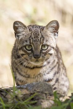Geoffroy's cat (Leopardus geoffroyi) is a wild cat native to the southern and central regions of South America.