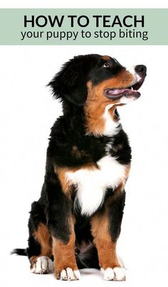 Dog Obedience Training Training bite inhibition: how to teach your puppy to stop biting. Puppy Training Tips, Training Your Dog, Potty Training, Training Classes, Training Academy, Training Collar, Training Pads, Training Schedule, Agility Training