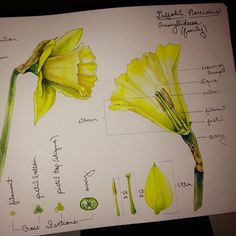 Daffodil dissected   I'm having a GIRL and I'm naming her ...