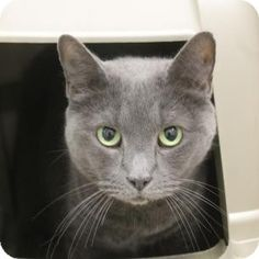 Russian Blue Cat For Adoption In Salem, Massachusetts - Chia